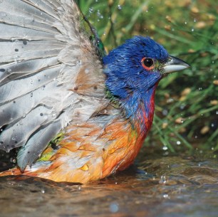sfw_zachary_webster_painted_bunting_0_crop