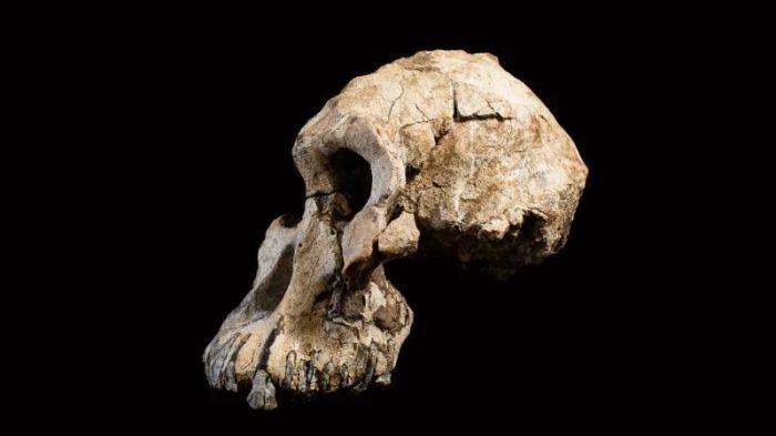Australopithecus anamensis kp0ws4oufi7umxdeokys