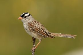 1280px-White-crowned-Sparrow