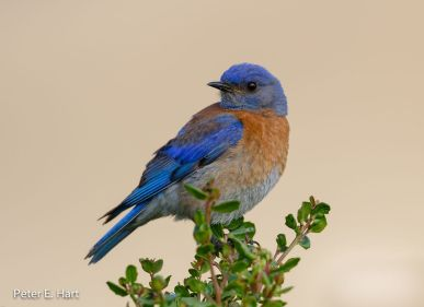 Western_Bluebird_-_Rancho_San_Antonio_Preserve_-_Northern_California,_USA
